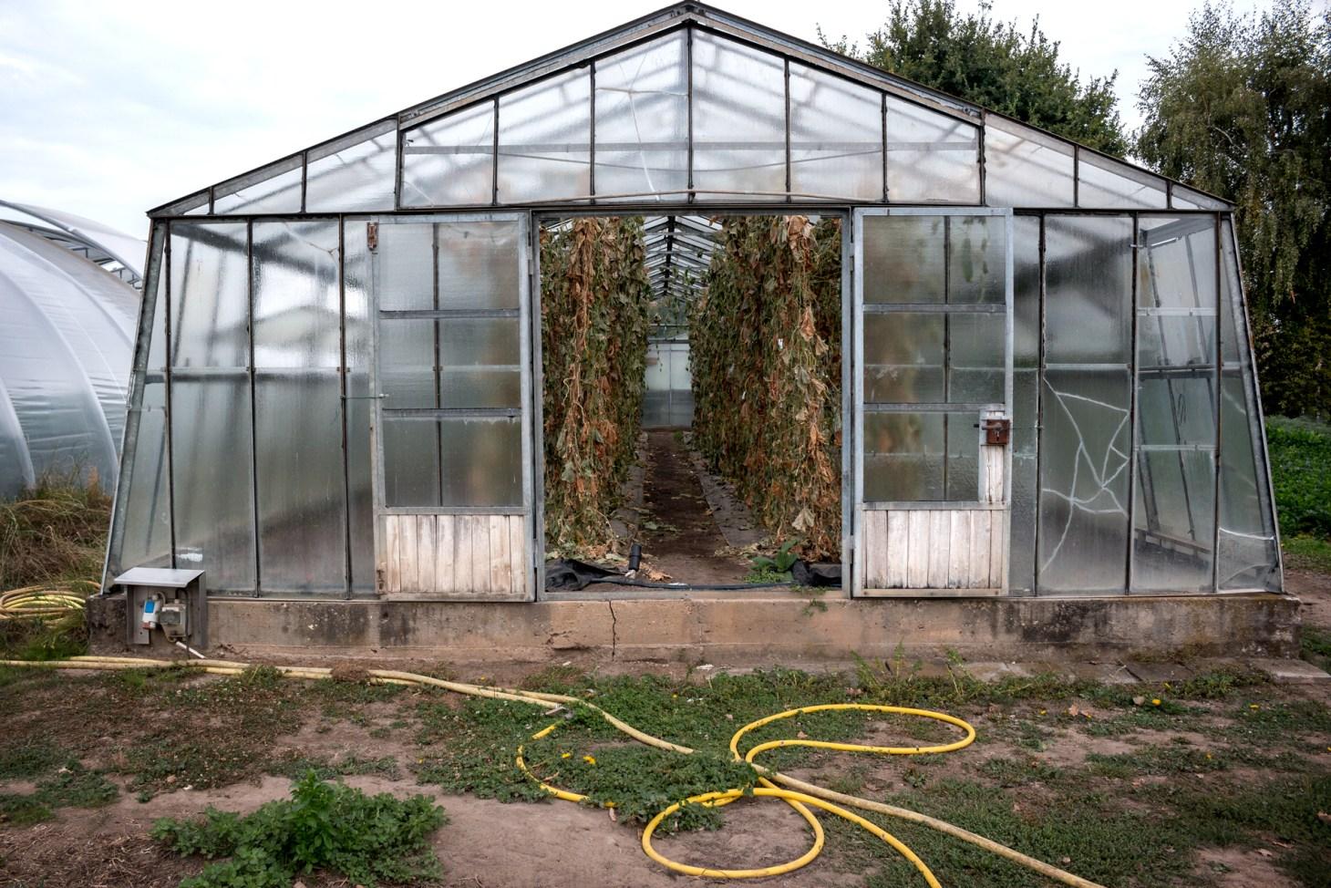 Gurkenhaus mit welken Pflanzen