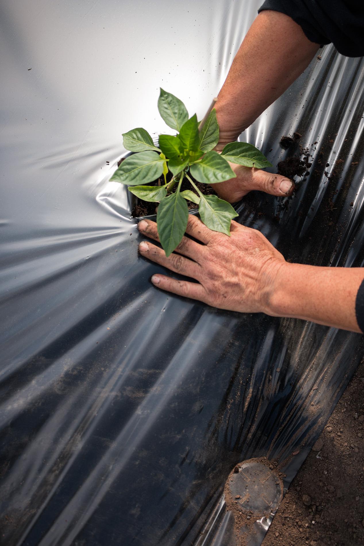 Paprikapflanze einsetzen