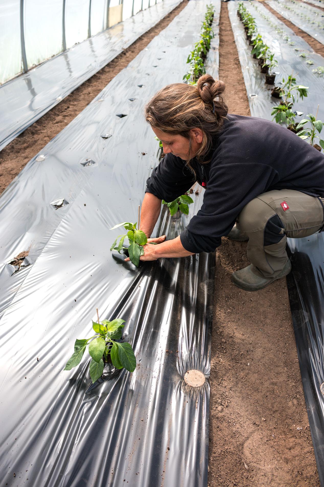 U. pflanzt Tomaten