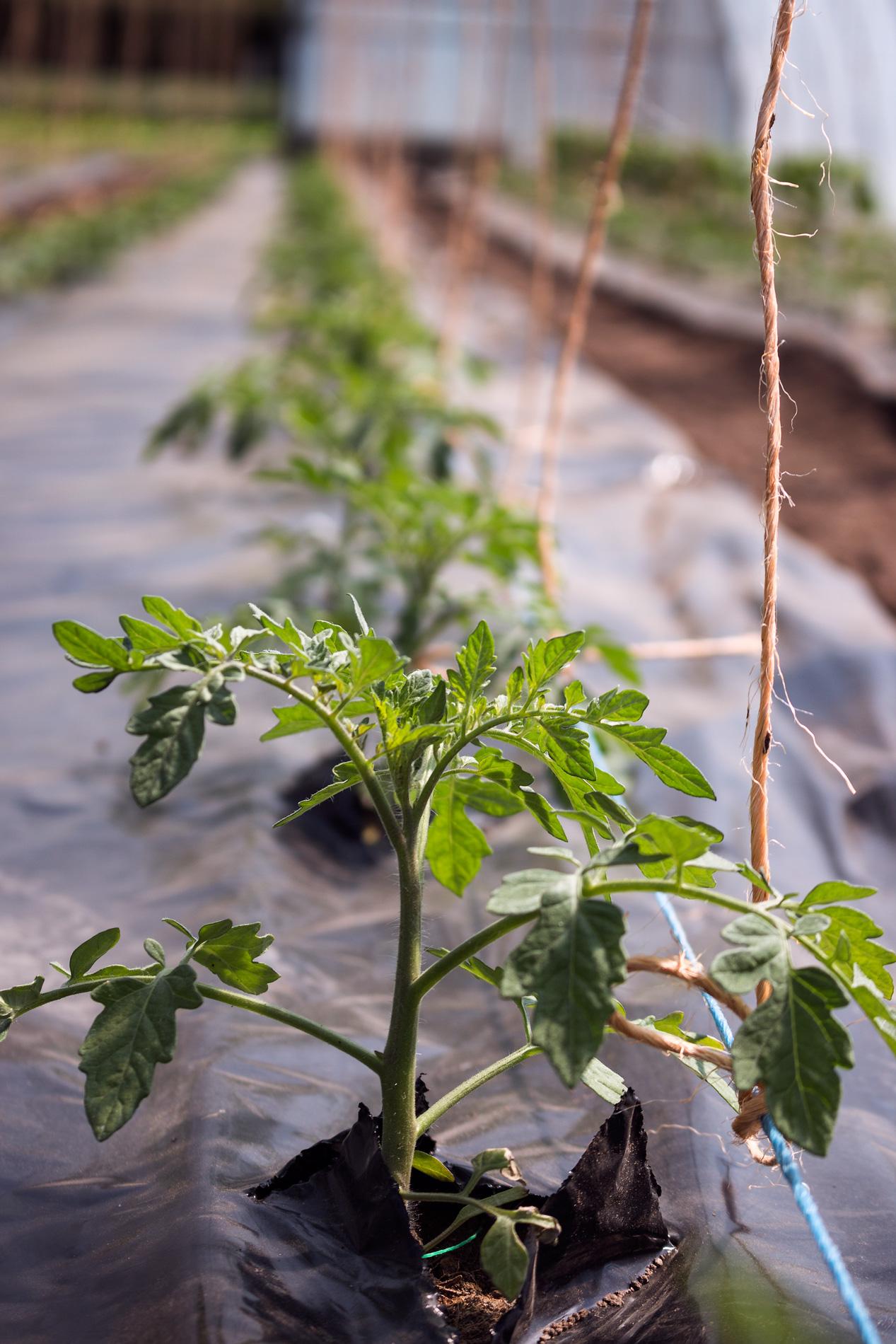 Tomatenpflanze mit Kordel