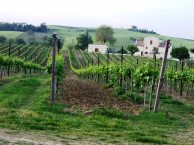 Vineyard in Le Marche