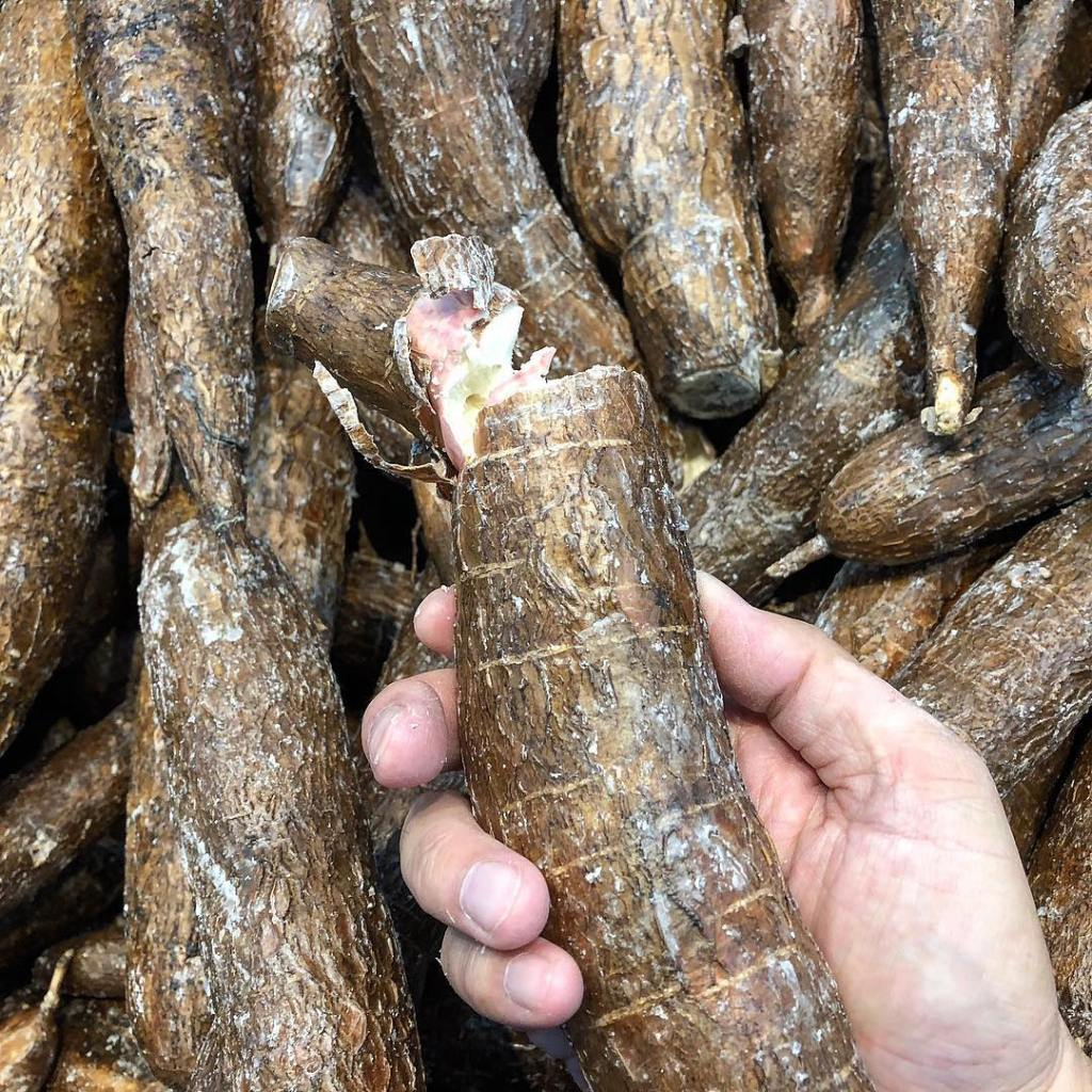 Bunch of cassava root in right hand