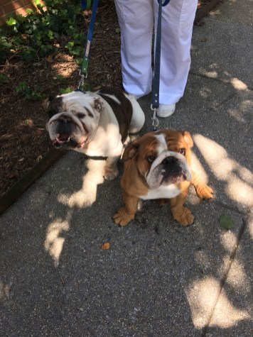 Two adorable English bulldogs in D.C.