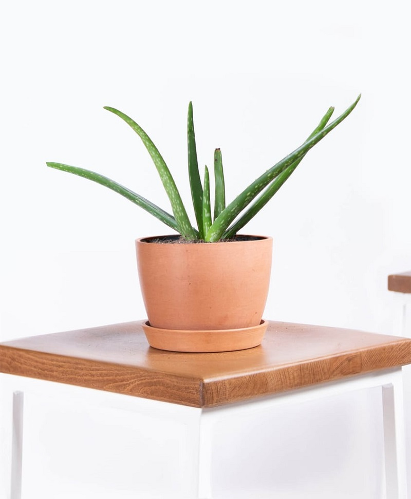 Aloe Vera For Bathroom