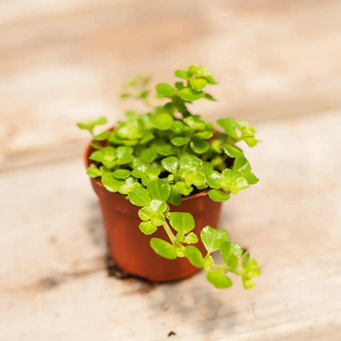 Baby Tears Plant