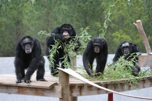 Chimp Haven Chimpanzee Group