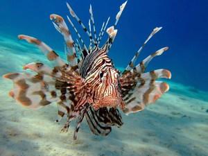 lionfish-1-big
