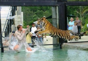 Tigers at Play