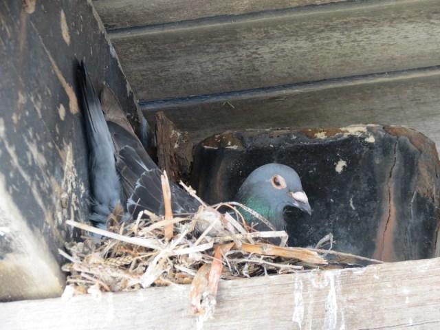 Domestic Pigeon- (Columba livia)