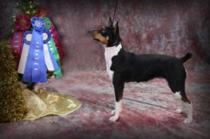 Clan Clarks Lady Vanessa, Rat Terrier