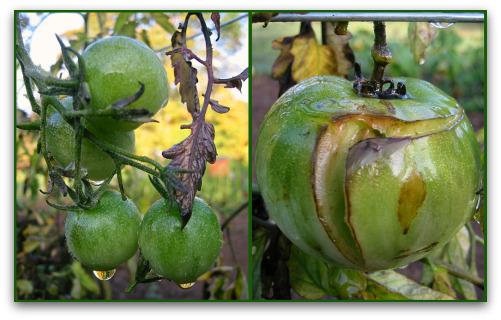 Green Tomatoes: I'll Tell You What to Do With Them
