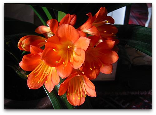 clivia-kaffir-lily-flower
