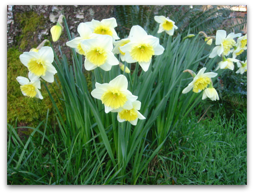 Daffodils: How to Encourage Next Year's Blooms