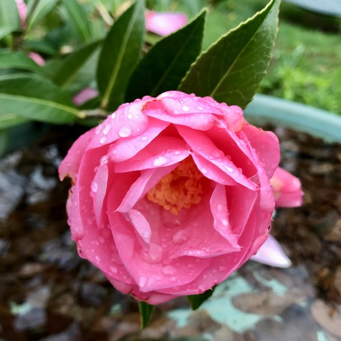 Taylor's Pink Perfection Camellia flower