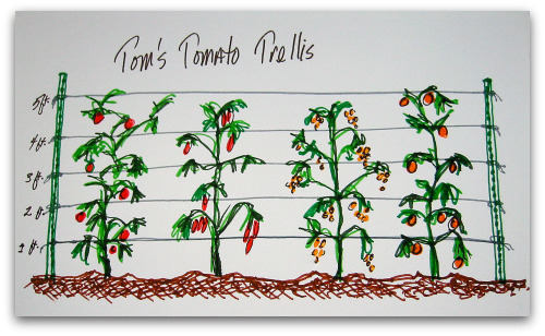 Growing Tomatoes: When Plants Are All Legs