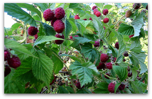 fresh ripe raspberries ready to pick