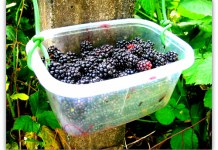 blackberries freshly picked