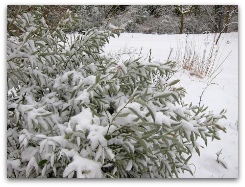 Royal Grevillea on a Vashon Snow Day