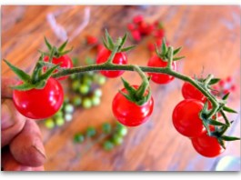 growing tomatoes stem of cherry tomatoes