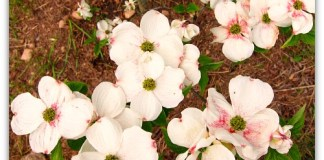 Dogwood blossoms Cloud 9