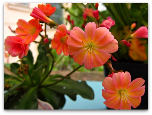 Lewisia in bloom