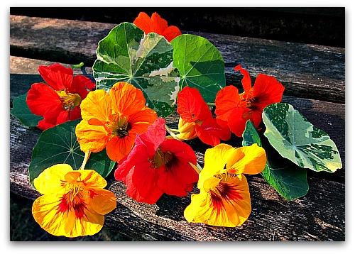 bright colored nastursiums