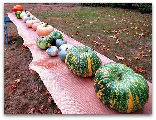 heirloom pumpkins on display
