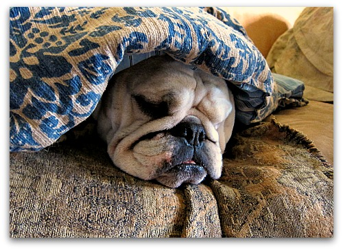 home remedies, bulldog companionship