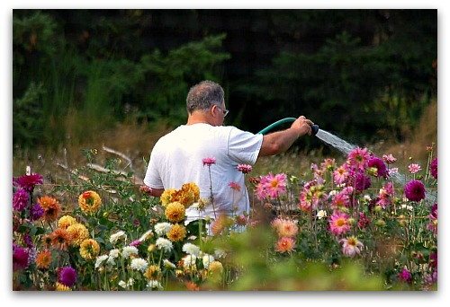Tom Watering Dahlias