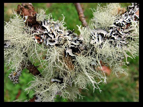 garden photos tapestry of lichen on my apple tree