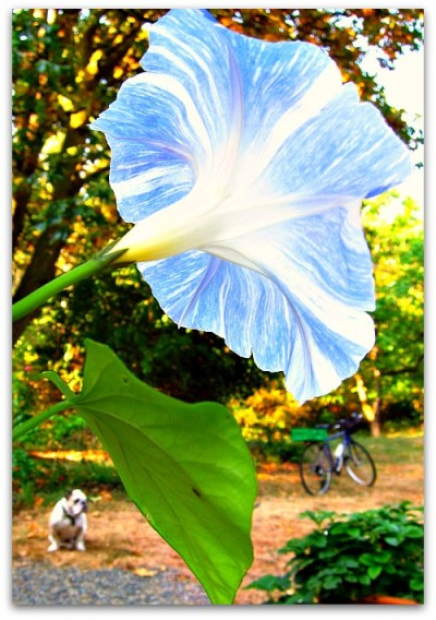 "good morning ""flying saucer"" morning glory"