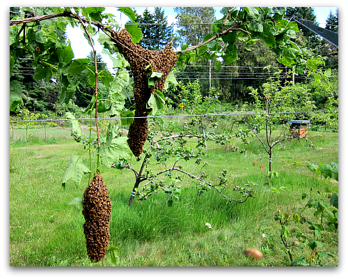 honeybees swarm in the vineyard