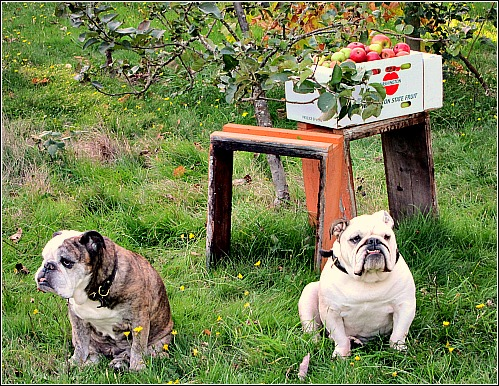 bulldogs in the apple orchard