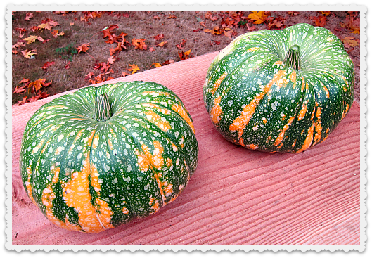 fresh Iran Pumpkins