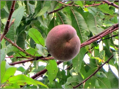 Indian free peach