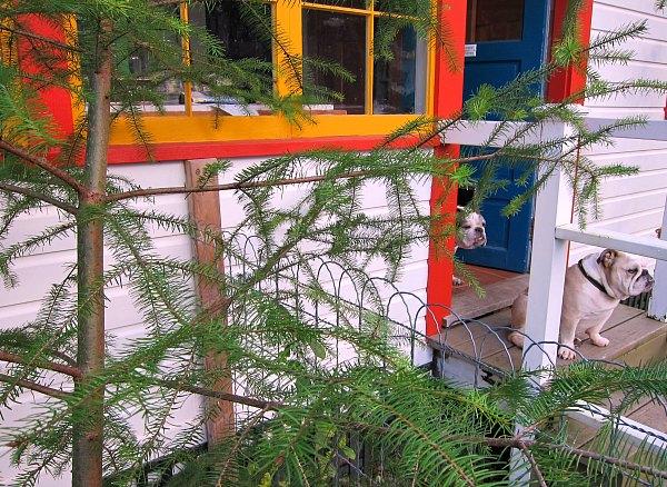 Christmas tree and Bulldogs