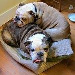 bulldogs in bed