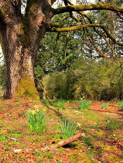 big leaf maple daffodils