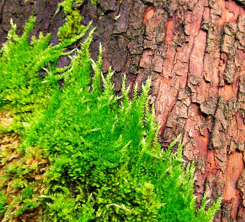 Moss on madrona tree
