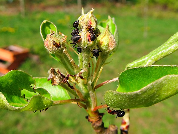 western thatching ants fruit trees