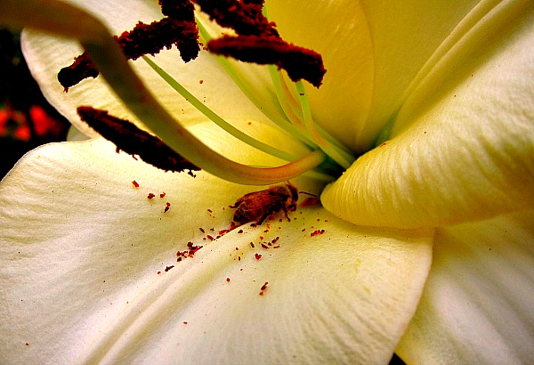 Plants for pollinators oriental lily and honeybee