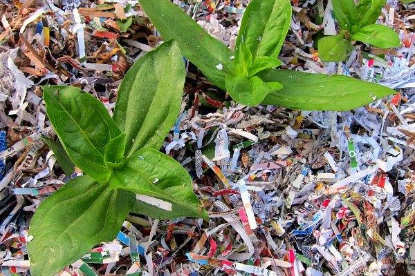 Gardening Tip: Shredded Paper as Garden Mulch