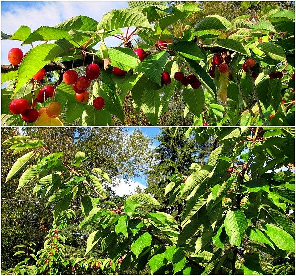 branches ripe sweet cherries
