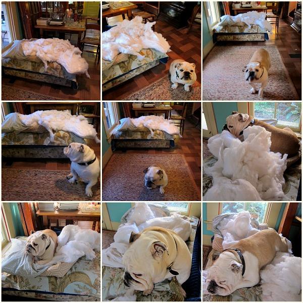 bulldog on pillow