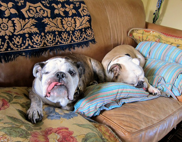 two bulldogs on a sofa