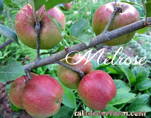 Melrose apples on tree