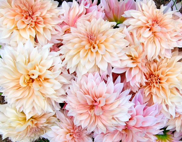 September's extra credit: Cafe au lait dahlias