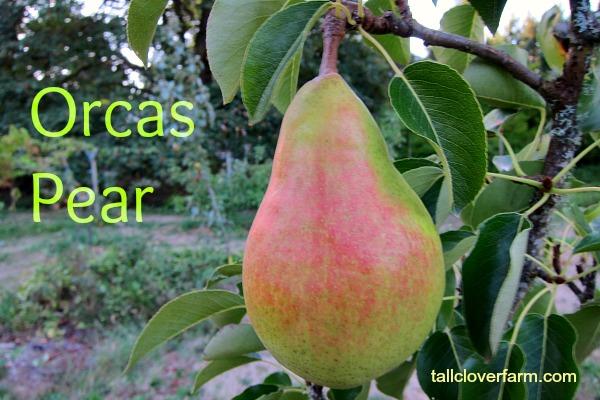 orcas pear tree