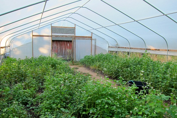 Greenhouse with cover crop of buckwheat
