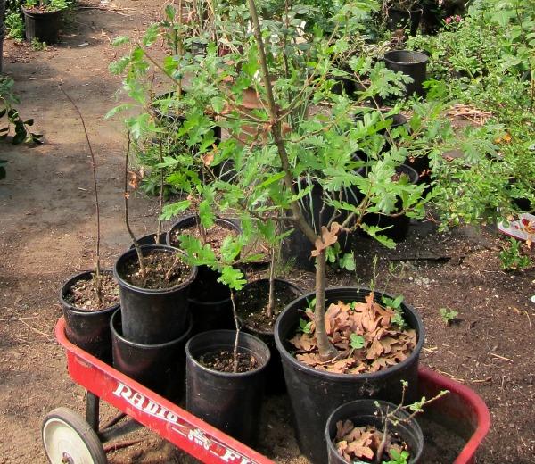 Garry Oak seedlings
